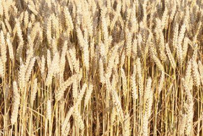 باحثان من غزة يحلان مشكلة مرضى حساسية القمح