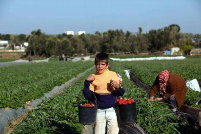 رغم الحصار... فراولة غزة تطير الى الاسواق الاوروبية